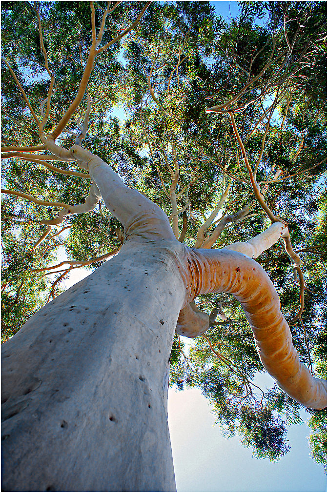 Up a Gum Tree