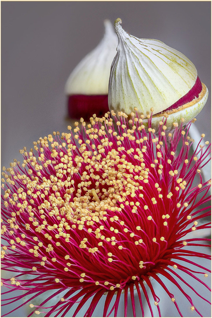 Gum Nut Flower