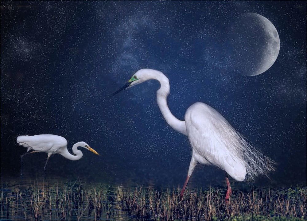 Night Time Egrets