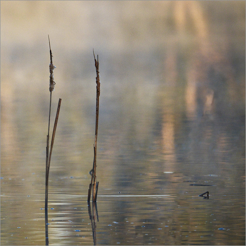 Reeds and Reflections