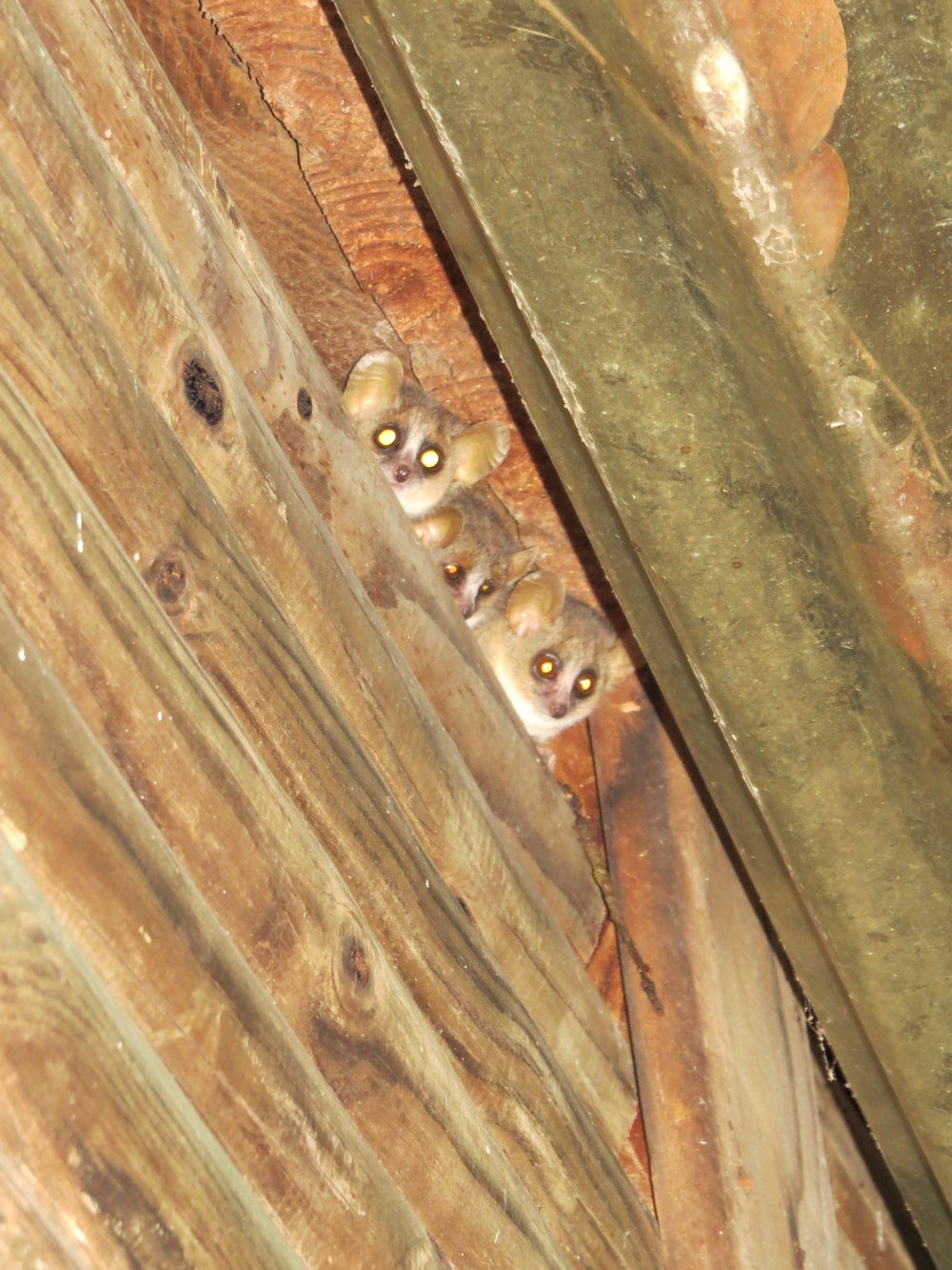 Three mouse lemurs peering out from their nest in the roof of the research station.