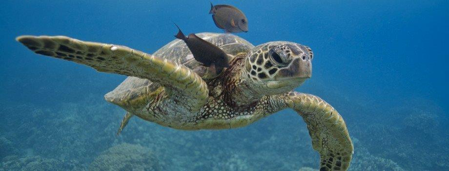 The endangered Green Sea Turtle.