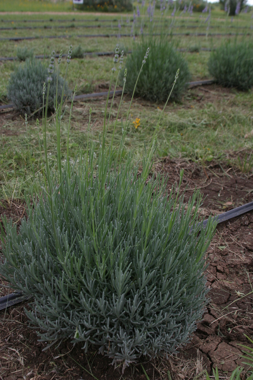 Buy mature lavender plants
