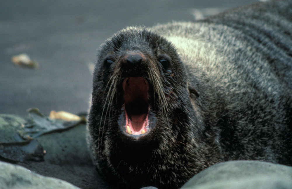 Fur_Seal,_Alaska_Maritime_National_Wildlife_Refuge.jpg