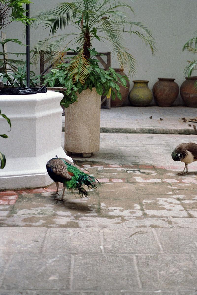 peacock_havana