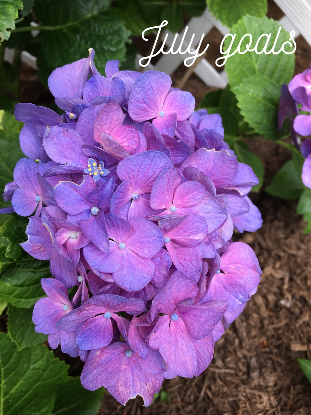 Not only is our hydrangea alive, it is also ridiculously gorgeous these days!