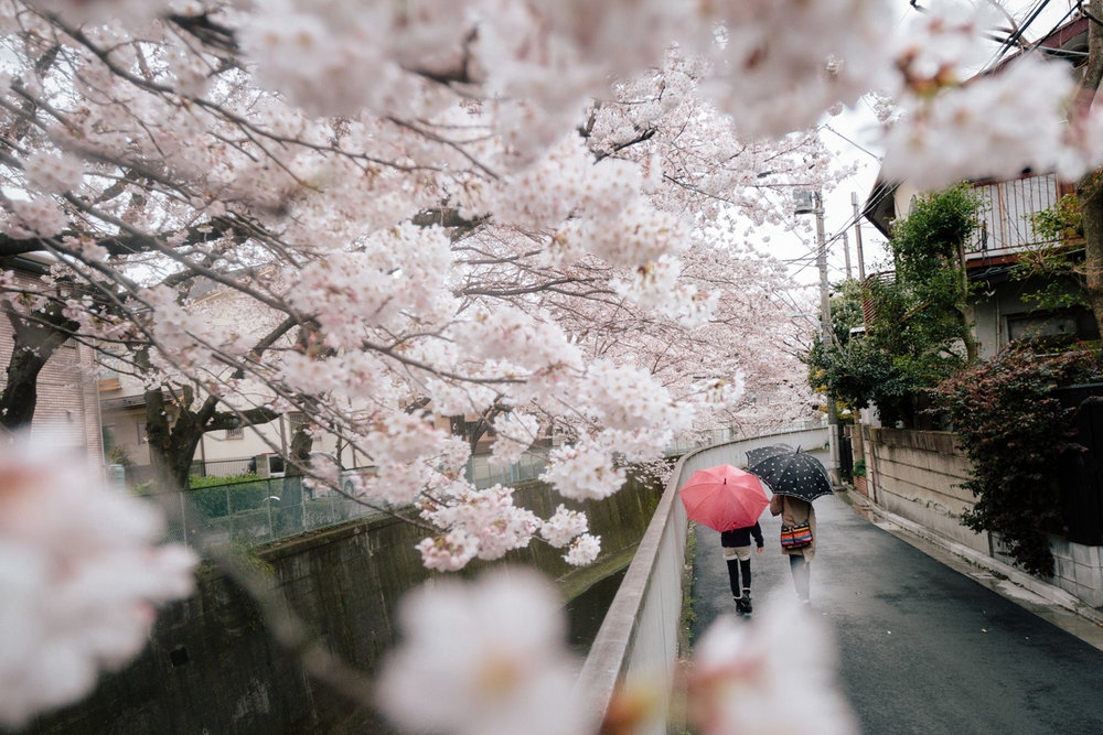 Two people walk with umbrellas under spring cherry blossoms in a quiet Tokyo, Japan neighborhood