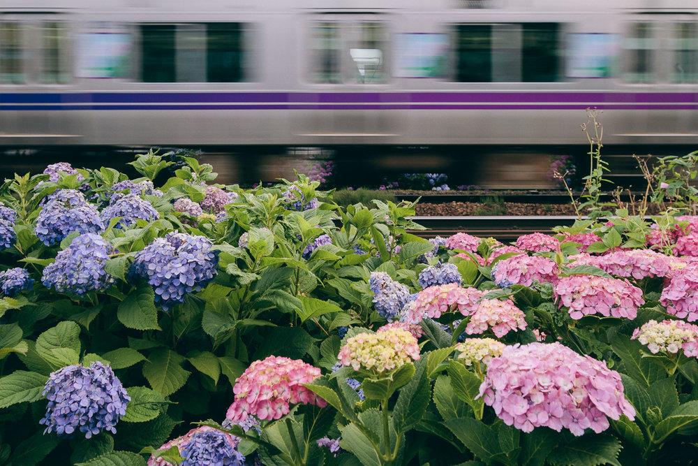 Hydrangea blossoms along the Inokashira train line in Tokyo, Japan