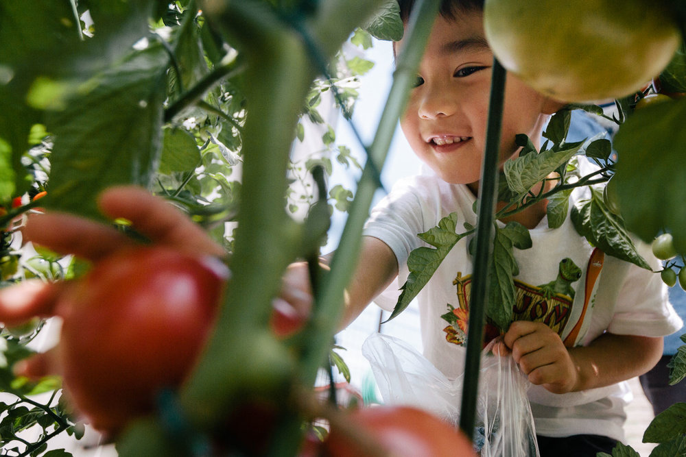 A Jsmiling Japanese boy picks tomatoes in Nagano, Japan. Photo by Daniel J. Powell