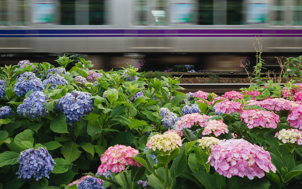 Hydrangea flowers match the colors of a passing train along the Inokashira line in Tokyo, Japan