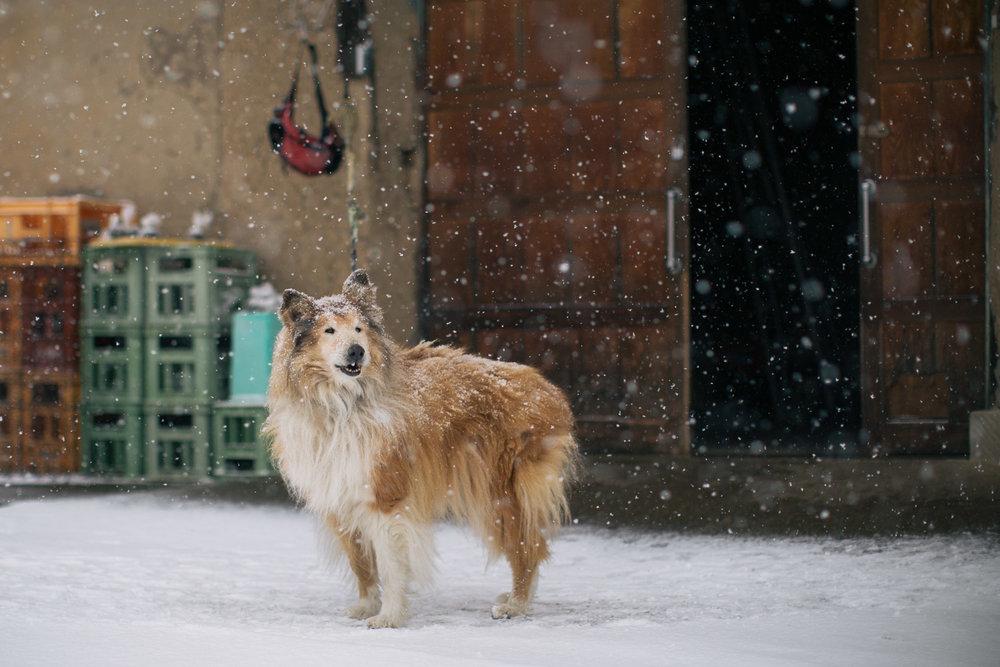 A dog in the snow outside a sake brewery in Iiyama, Nagano, Japan