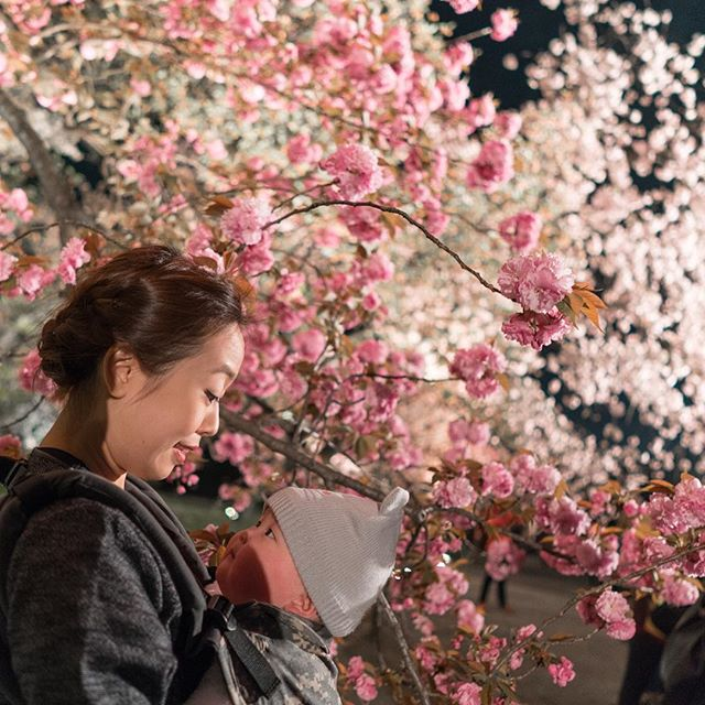 Illuminated cherry blossom by night, Nijo Castle.
