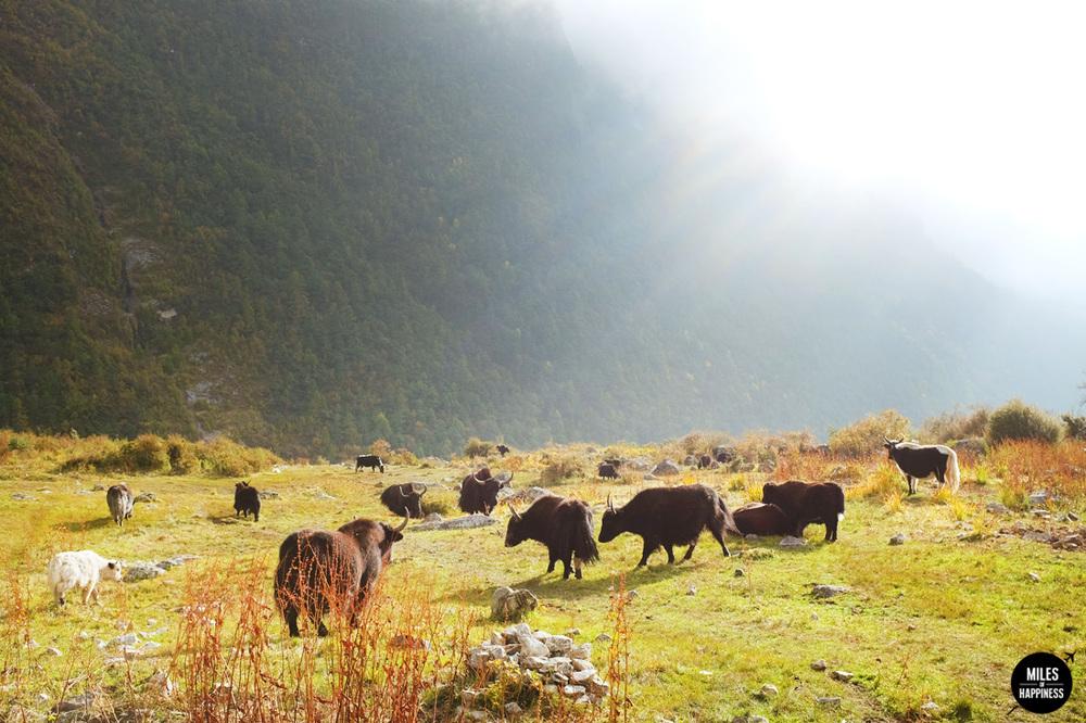 Himalayas yaks