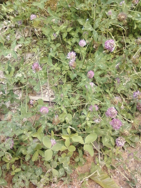 Red Clover Blossoms!