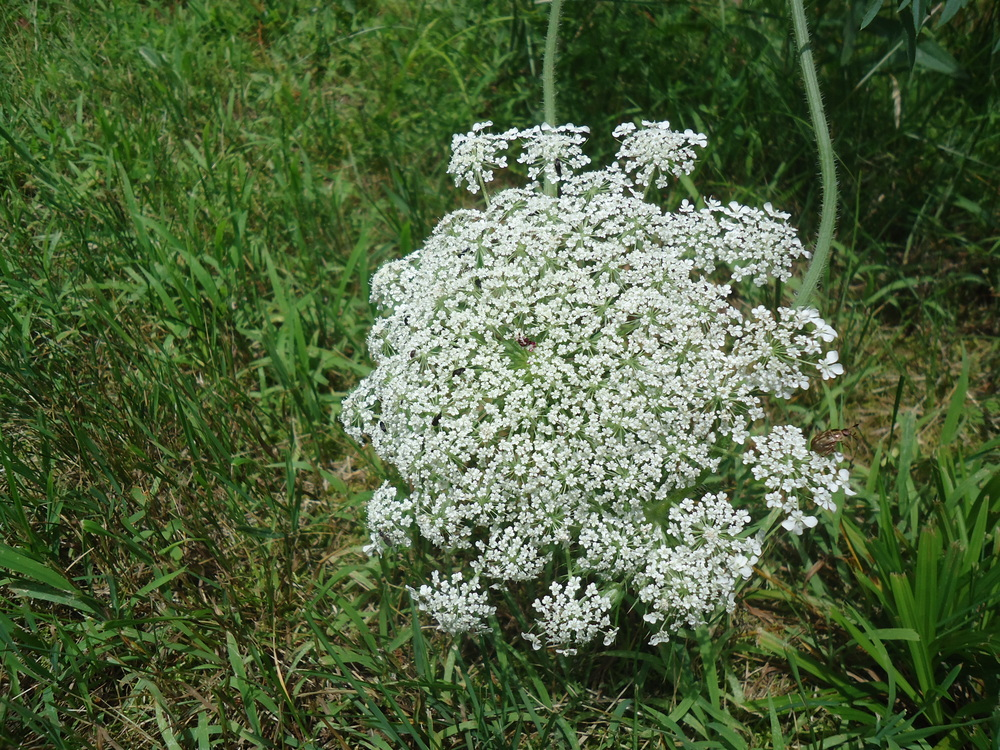 Queen Anne's Lace flower head: the seeds are used to prevent pregnancy.