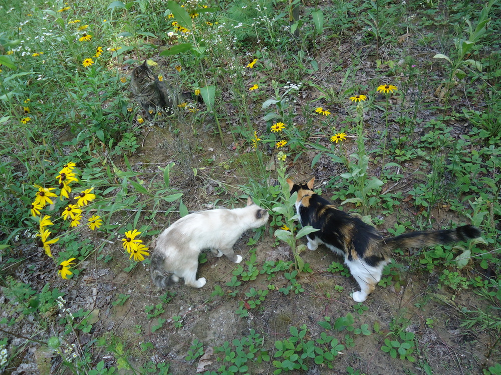 My yard is carpeted with Wild Strawberry plants. I have caught the cat's eating them on many occasions, bet they were self medicating their bellies!