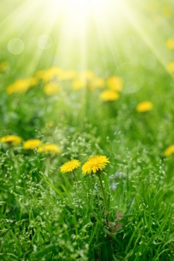 PS  Dandelions are a great digestive aid!    Comments and questions are always welcome!