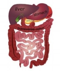 digestive tract.jpg