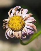 An Aging Daisy
