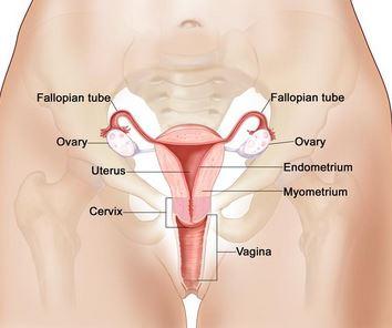 cervix vagina