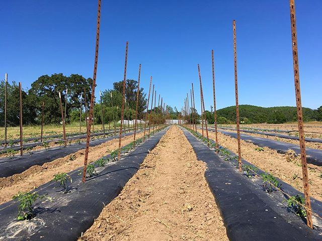 Reach for the stars little tomats, reach!  #organicfarming #tomatoes #sonomacounty #reachforthestars #superawesomemegasweetfarm
