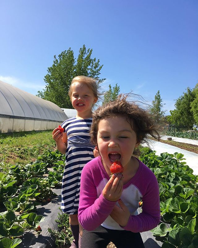 It's the little things, or little ones that make it all worthwhile. A visit from the nieces and some quality time in the strawberry patch make the perfect cap to a day on the farm.  #organic #doingitforthekids #sonomacounty #superawesomemegasweetfarm