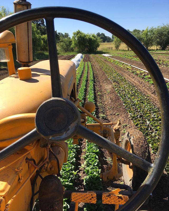 Lettuce cultivation on a hot day.  #organic #sonomacounty #farmall140 #superawesomemegasweetfarm