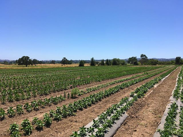 Progress and peppers as far as the eye can see.  #sonomacounty #organicfarming #peppers #superawesomemegasweetfarm