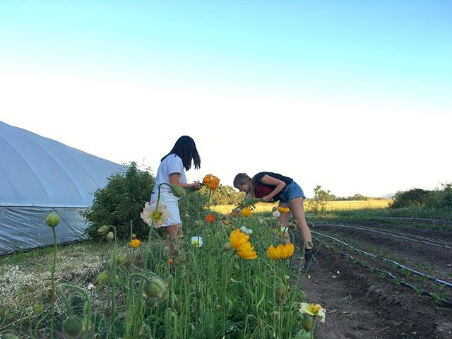 Evening on the farm picking flowers, drinking margaritas and spending time with friends. This is actually the good life.  #sonomacounty #superawesomemegasweetfarm #icelandicpoppies