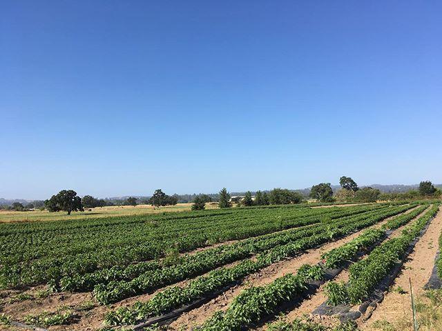 Peppers in progress. We're gettin' close!  #organicfarming #peppers #superawesomemegasweetfarm