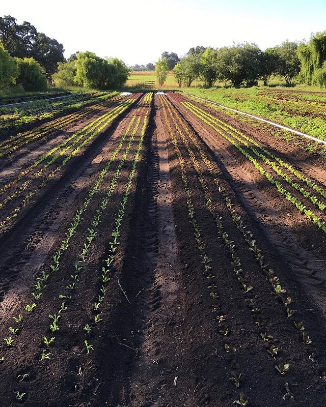 Dappled morning light on the 8th and final succession of gems in this field. In just 30-40 days this field will get reset, recharged and by October it will start to get some crops.  #sonomacounty #organicfarming #littlegems #superawesomemegasweetfarm
