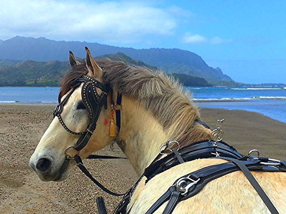 The tradition of      carriage pulled by magnificent horses t  urns a memorable wedding into an unforgettable event.      Propose marriage, celebrate your honeymoon or anniversary with an enchanting carriage ride on our island paradise.
