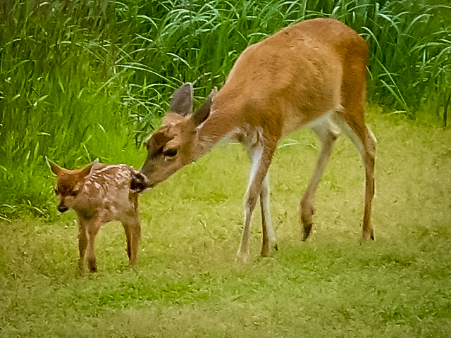 Deer & Fawn - Alaskan Wildlife Conservation Center