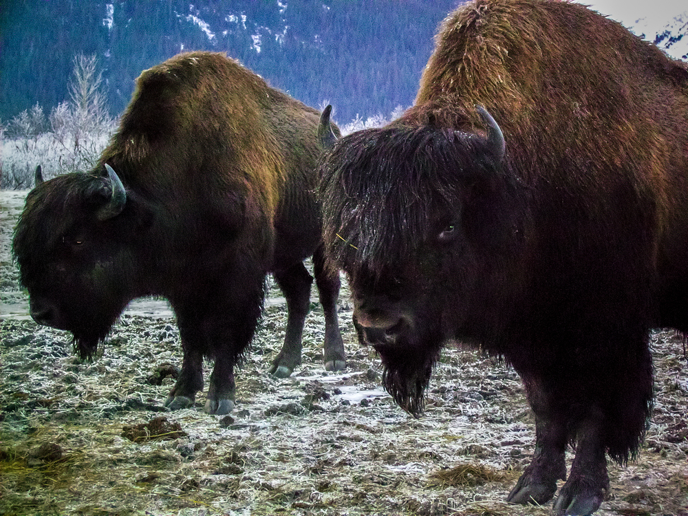 Bison - Alaskan Wildlife Conservation Center