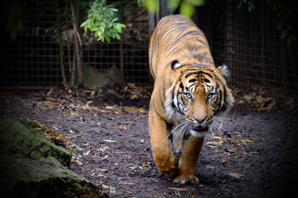 It was taken at Melbourne Zoo and the wire mesh was between the tiger and the camera.