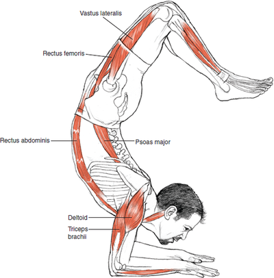 © Leslie Kaminoff's Yoga Anatomy