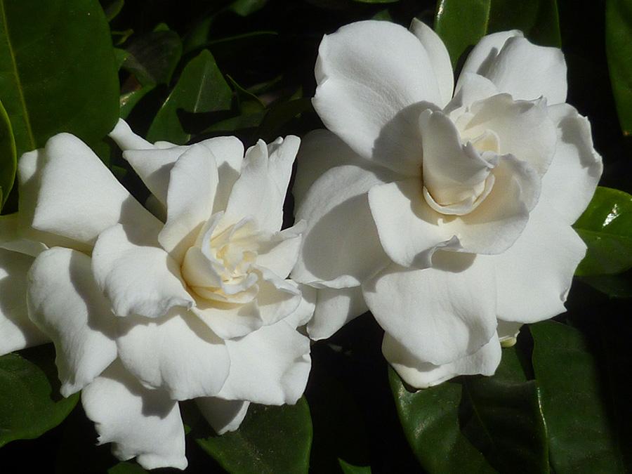 Gardenia R 3.jpg