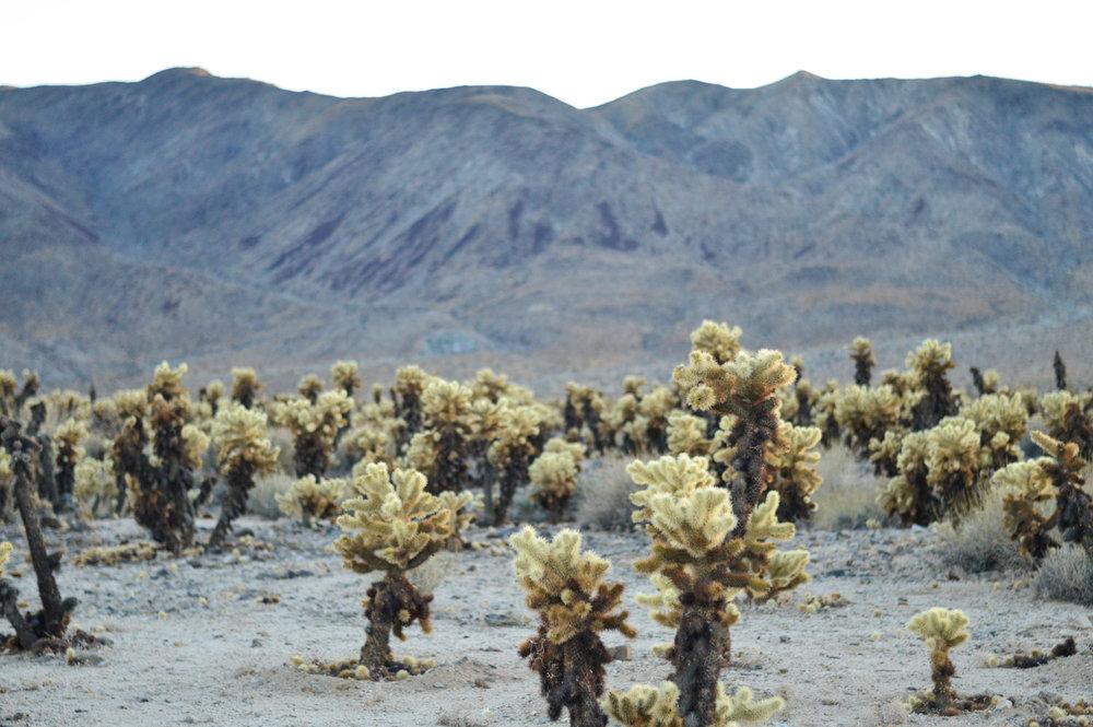cholla-cactus-garden-joshua-tree-travel-itinerary-fashion-blogger-boho-style 4