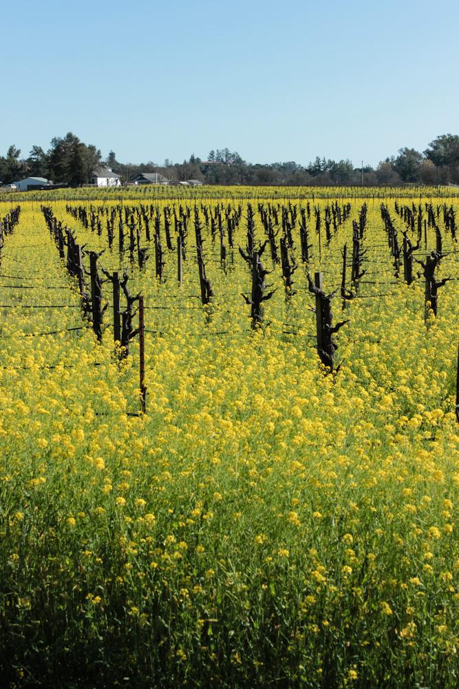 sonoma-california-235-luxury-suites-travel-blogger-mustard-fields 8
