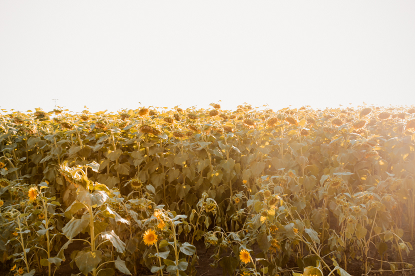 sunflower-fields-dixon-california-summer-travel 2