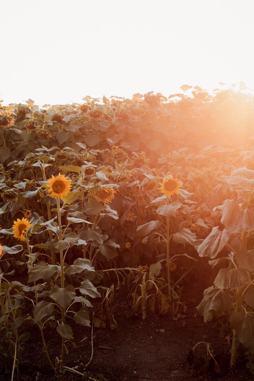 sunflower-fields-dixon-california-roadtrip 6