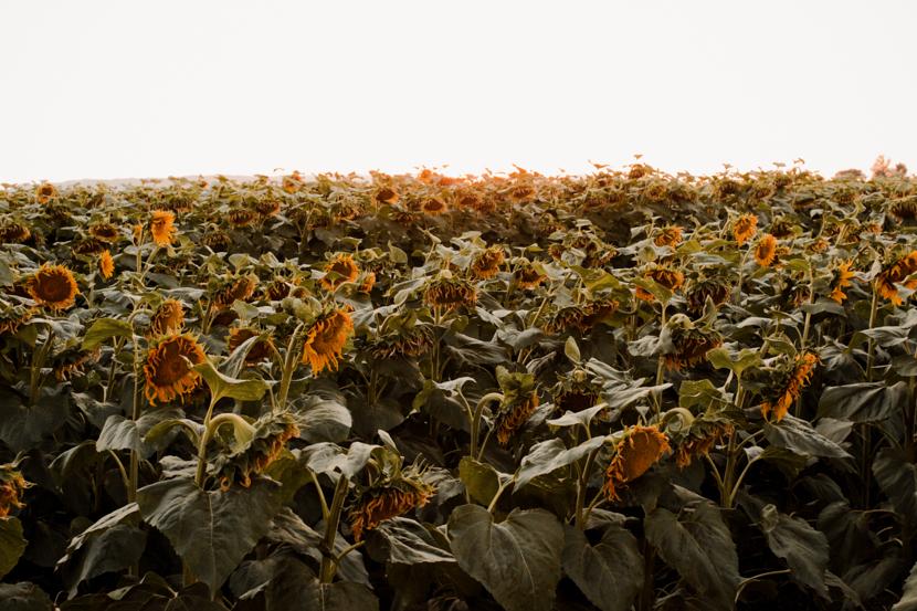 sunflower-fields-dixon-california-blogger 9