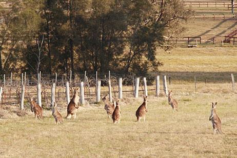 kangaroos-talga-estate.jpg