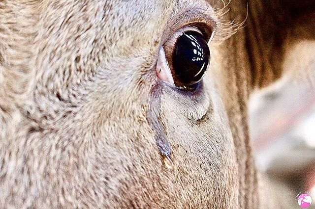 People who claim cows can't cry tears of emotional distress haven't looked into their eyes in the back of a kill-truck.