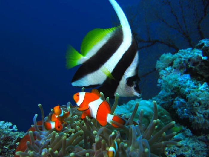 Anemonefish_and_bannerfish-51-700-550-80.jpg