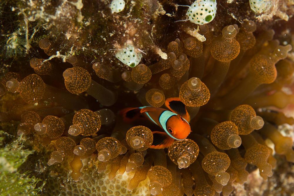 Anemonefish+2.jpg