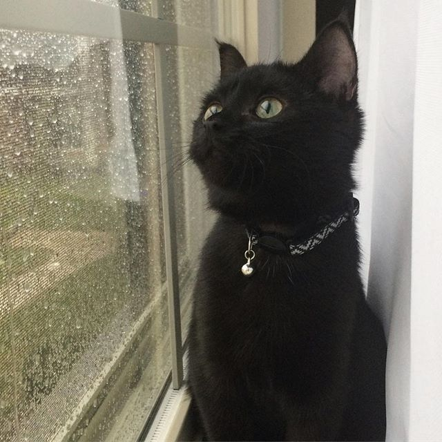 Much majestic. So mew. ⚫️🐱#hellominsu #kittythings #cat #kitty #black #blackcat #rain #rainyday #whitecurtains