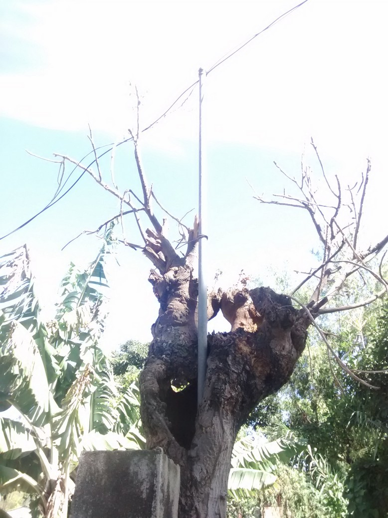 Put a metal pole down a rotted tree and you get an instant pole to run telephone wire.