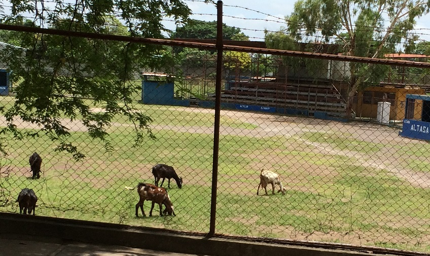 Goats eating the baseball field. This picture is dedicated to my sister, Shay. (Will you name a goat after me now?)