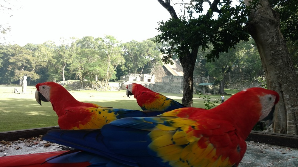 Macaws with a few of the impressive ruins in the background